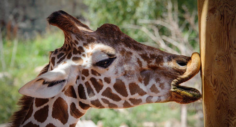 Gylgayton, R - Kissing Giraffe